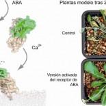 Investigadores hallan una nueva familia de proteínas que controla la resistencia de las plantas a la sequía