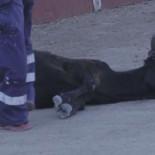 PACMA responde al alcalde del PP y publica imágenes aún más crueles del maltrato a la becerra