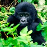 Los chimpancés y babuinos de Uganda están sufriendo extrañas mutaciones