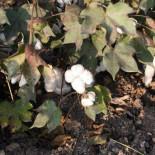Un híbrido de dos plagas amenaza cultivos en todo el planeta