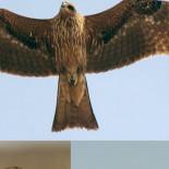 Los pájaros pirómanos de Australia