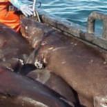El arrastre de fondo está provocando el colapso de las poblaciones de peces de mar profundo