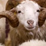 Localizan a una cabra en una frutería dos horas después de romper la luna de un autobús en Valencia